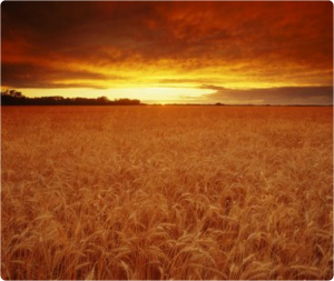 Harvest Field Picture